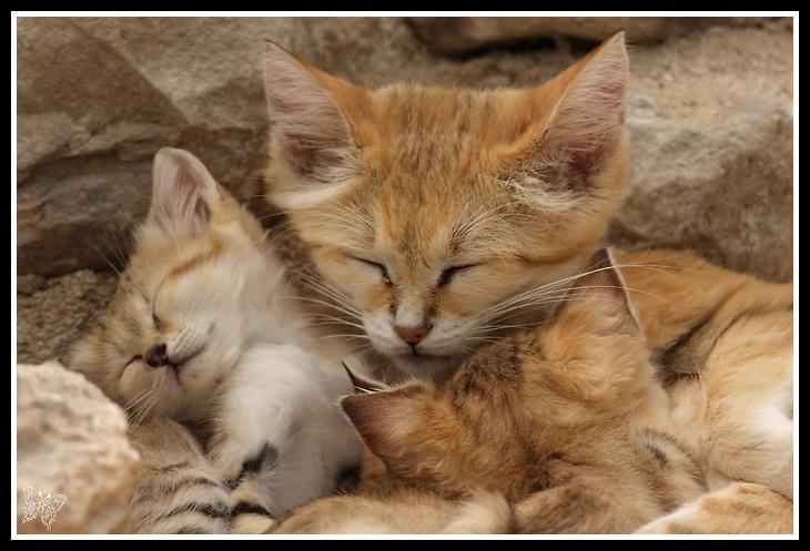Chats des sables - Chat des sables a vendre ...